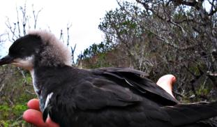 Saving the most endangered seabird in the Americas