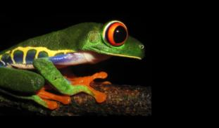 It's Not Easy Being Green: The Color of Gene Diversity in Red-eyed Treefrogs